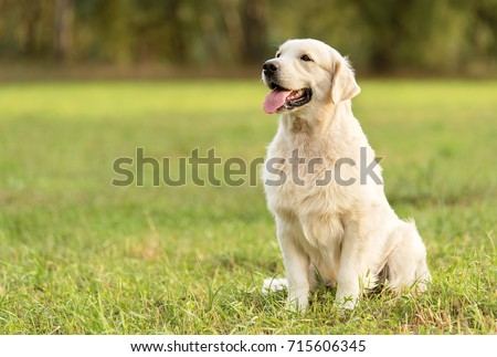 Beauty Golden retriever dog in the park #715606345