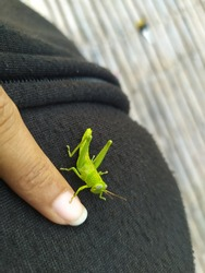 beauty green small grasshopper as small as your finger