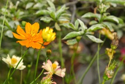 beauty group of multi color fresh orange and gold cosmos flower blooming in botany garden.