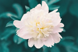 Beauty in nature. Beautiful light pink peony flower on green background. Pretty artistic organic floral natural theme backdrop. Amazing seasonal summer outdoor wallpaper.