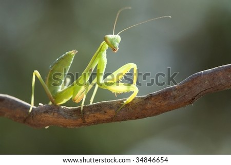 Beauty mantis on the branch with blurred background.