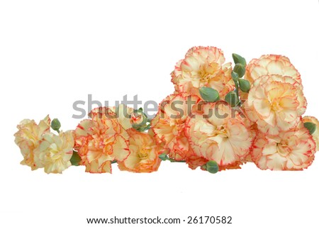 Beauty multicolored carnations isolated on white