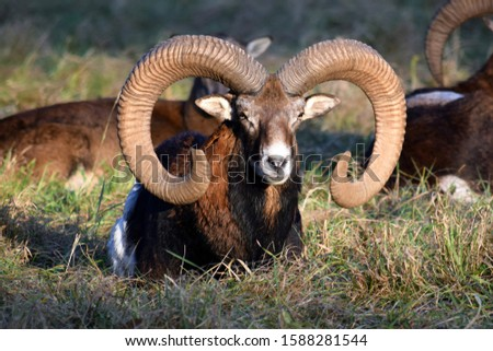 Beauty of Mouflon Male Lying in Grass Winter Portrait Ovis Aries Musimon Foto stock ©