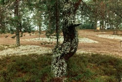 Beauty of nature. Old ugly tree with curved trunk covered with lichen or moss, growing nearby sand road on the way to forest-based camping area. Hiking, outdoors, traveling, tourism concept