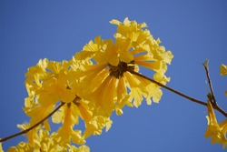Beauty of nature yellow flower tree with blue sky for background