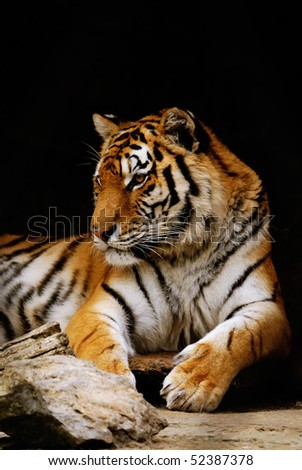 beauty orange striped tiger. close-up