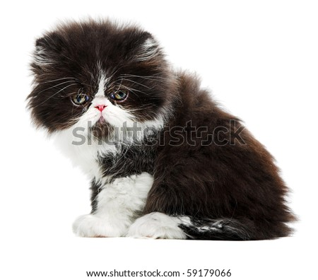 beauty persian kitten isolated on white background