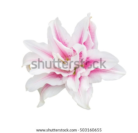 beauty pink lilly.lilly flower.