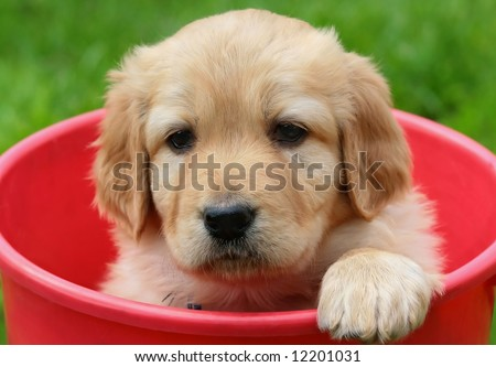 Beauty puppy in red bucket – Golden retriever