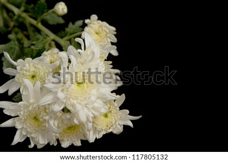 beauty white chrysanthemum flowers on black background