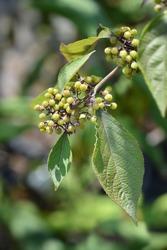 Beautyberry Profusion unripe fruit - Latin name - Callicarpa bodinieri Profusion