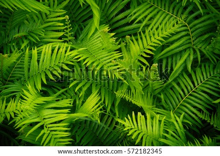 Beautyful ferns leaves green foliage natural floral fern background in sunlight.