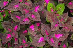 beautyful leaves,Multi colored leaves pink,purple and green color leaves growing in garden