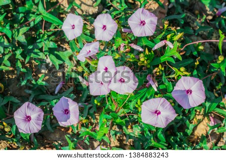 Beautyful soft pink flowers of Swamp morning glory, Thai water convolvulus, Morning glory, Water spinach, Water morning glory, Swamp cabbage (Ipomoea Aquatica Forssk) are blossoming on the ground
