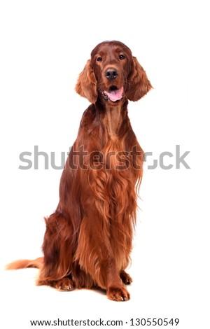 Beautyfull dog: Irish Red Setter - isolated over a white background