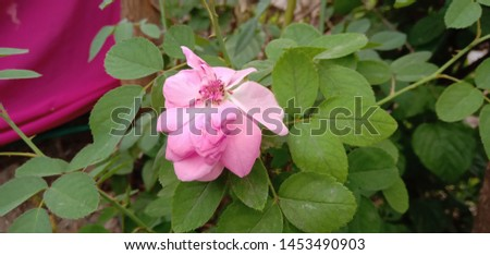 beautyfull rose simble of true love #1453490903