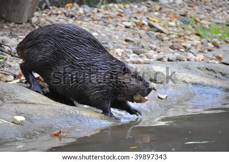 Beaver at Work near water
