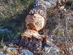 Beaver bitten and felled pine tree. Tree trunk felled by beavers Autumn winter season in the woods