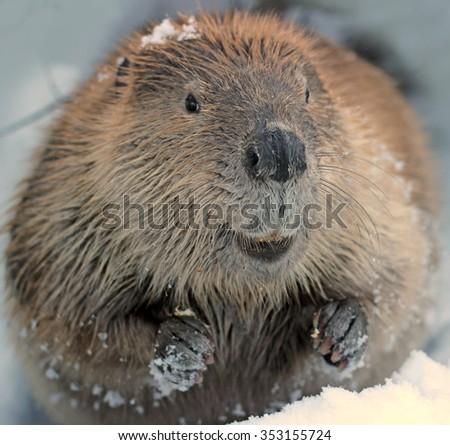 Beaver Close Up