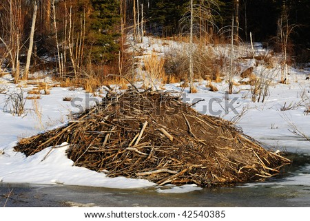 Beaver dam in winter, elk island national park, alberta, canada