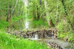 Beaver dam on The Lucni potok (Meadow creek) nearby Pilsen city. Czech Republic, Europe.