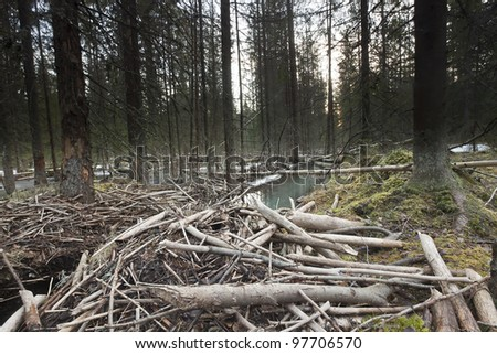 Beaver damming in forest, wide angle photo - stock photo