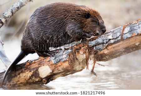 Beaver in the Canadian wilderness Photo stock ©