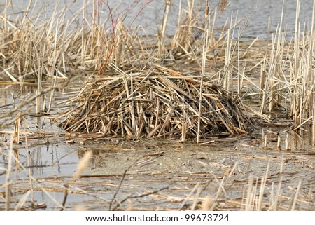 Beaver lodge in early spring