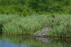 Beaver lodge nestled into tall grasses along the reflective water in the wetland marsh. Great serene setting with detail and texture, green background of tall grasses showing movement.