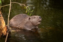 Beaver sitting in a river, close up