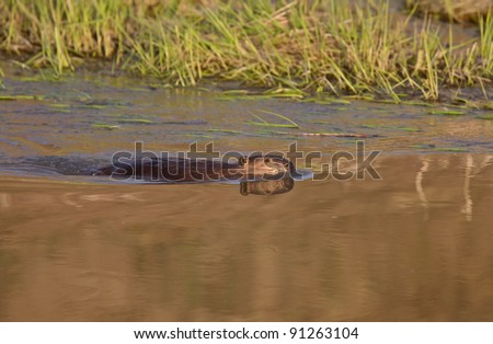 Beaver swimming in river at sunset - stock photo