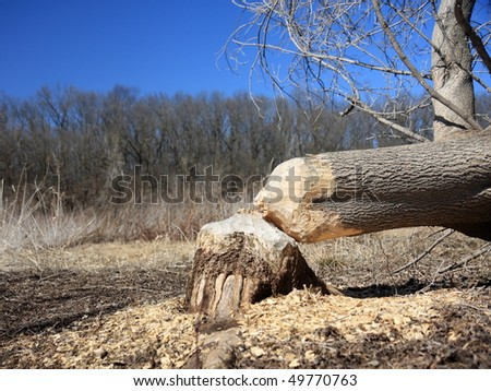 Beaver worked overnight to chop down tree in Willow river park, WI