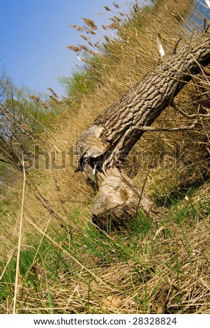 beaver worked to chop down this tree