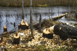 Beavers build their dam on a pond. Trees are eaten by beavers in late autumn. The beaver shavings lie on the ground.