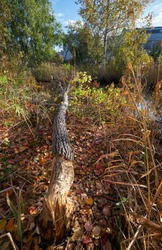 Beavers gnawed a tree trunk and tumbled down the aspen. Novosibirsk, Siberia, Russia