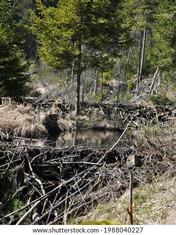 Beavers lodge at pent up water near Frauenau Foto stock ©