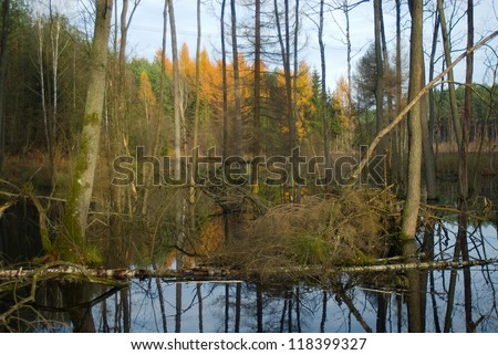 Beavers pool - flooded forest - swamp