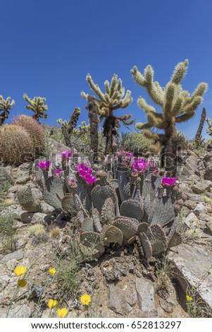 Beavertail Cacti, Barrel Cacti and Cholla Cacti blooming in spring - Anza-Borrego State Park, California