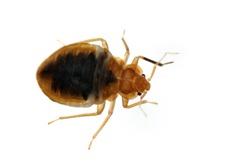 Bed bug Cimex lectularius isolated on white.