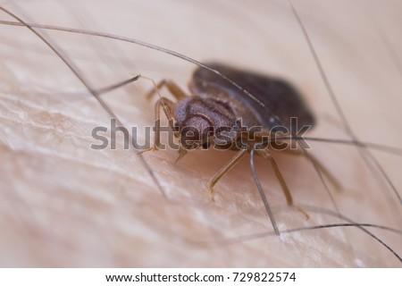 Bed bug sucking blood