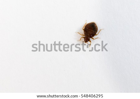 bed bug top view