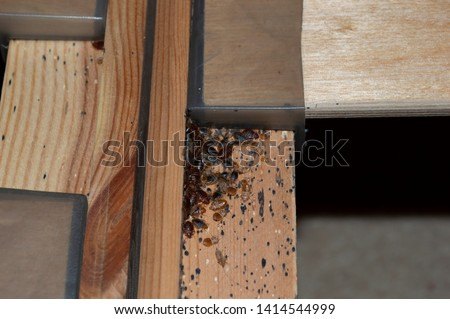 Bed bugs (Cimex lectularius) on slatted wooden bed in domestic bedroom setting, revealed by pest control specialist preparing to treat and eliminate with pesticide treatments.