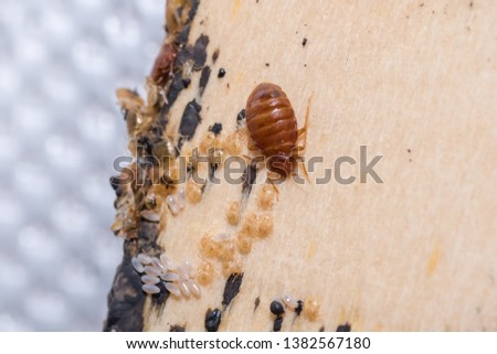 Bed Bugs on Bed Slates #1382567180