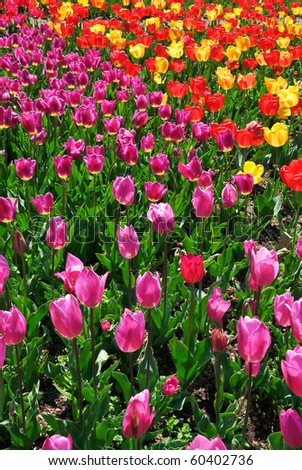 Bed of colorful tulips. Nature composition.