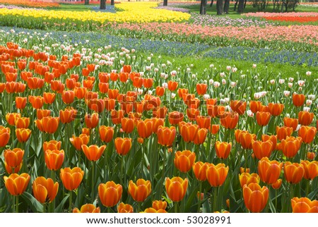 Bed of Multicolored tulips