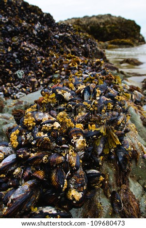 Bed of Pacific Mussels growing on Rock