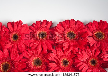 Bed of red gerbera daisies on a white background
