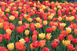 bed of red yellow and orange tulips at tower grove park in st louis this past spring