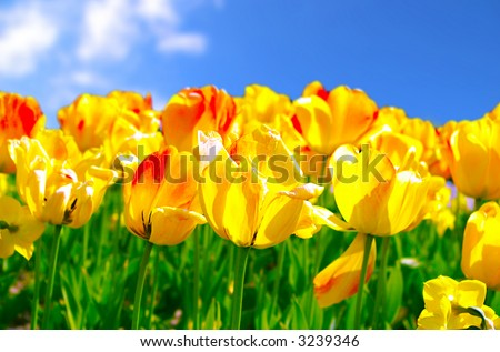 Bed of the yellow tulips