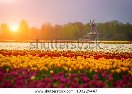 bed of tulips field and windmill